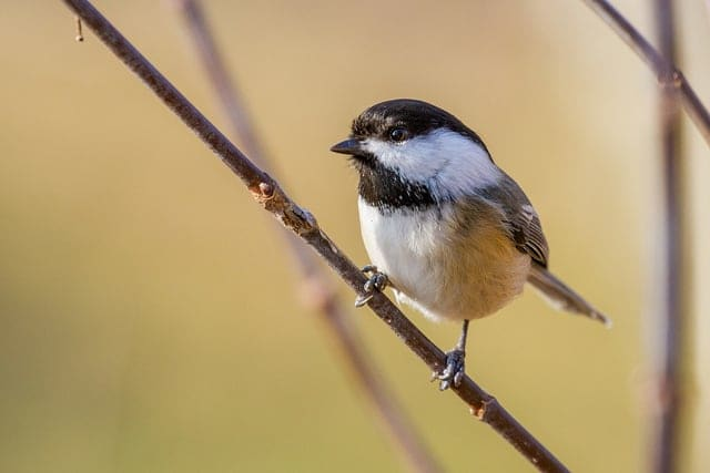 Black-capped Chickadee - Spring and summer are a birdwatchers heaven in Bayfield, Wisconsin. New to birding? Get a list of twenty common species you might see (or hear!) right outside your cottage window here in Brickyard Creek. Check out our favorite Birds of Wisconsin!