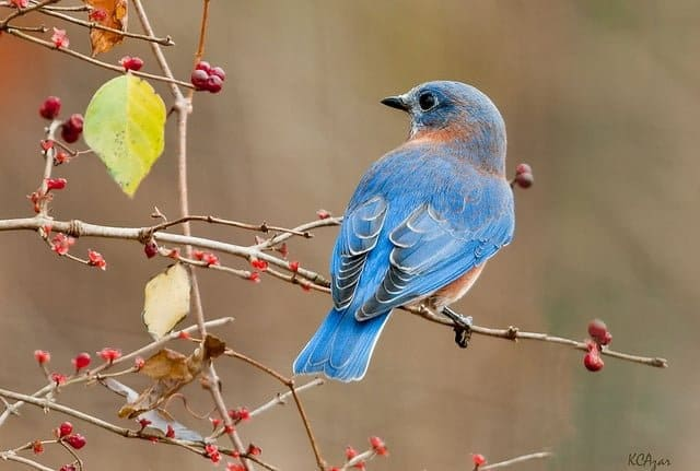 Eastern Bluebird - Spring and summer are a birdwatchers heaven in Bayfield, Wisconsin. New to birding? Get a list of twenty common species you might see (or hear!) right outside your cottage window here in Brickyard Creek. Check out our favorite Birds of Wisconsin!
