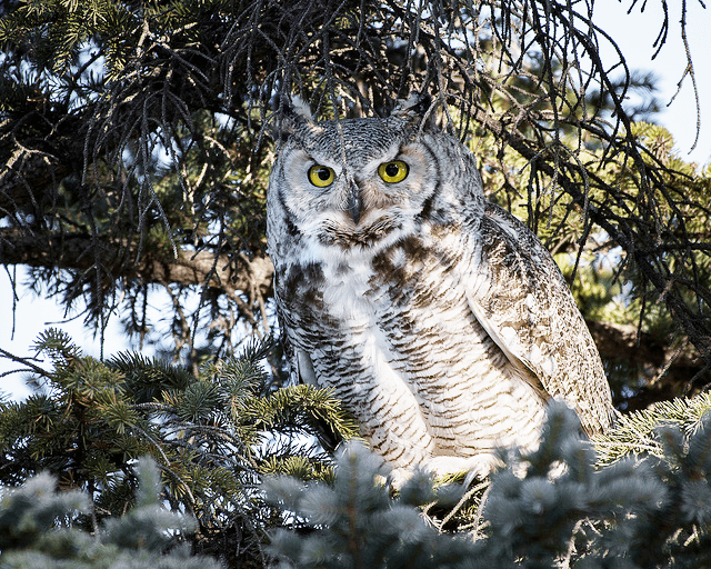 Great Horned Owl - Spring and summer are a birdwatchers heaven in Bayfield, Wisconsin. New to birding? Get a list of twenty common species you might see (or hear!) right outside your cottage window here in Brickyard Creek. Check out our favorite Birds of Wisconsin!