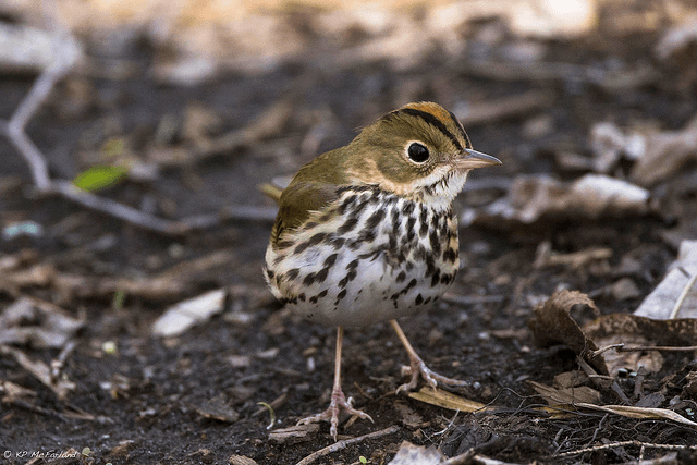 Oven Bird - Spring and summer are a birdwatchers heaven in Bayfield, Wisconsin. New to birding? Get a list of twenty common species you might see (or hear!) right outside your cottage window here in Brickyard Creek. Check out our favorite Birds of Wisconsin!