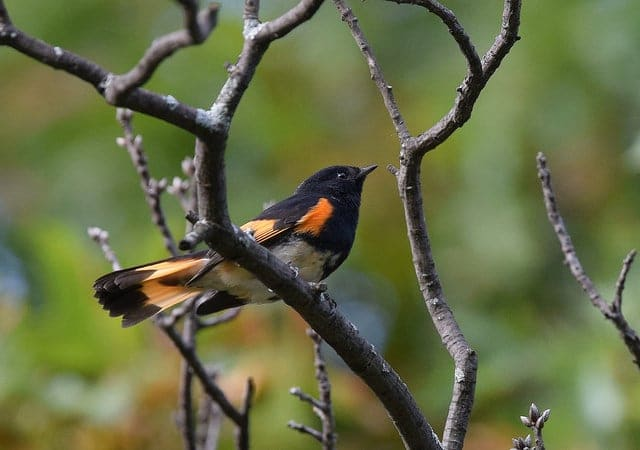 American Red Start - Spring and summer are a birdwatchers heaven in Bayfield, Wisconsin. New to birding? Get a list of twenty common species you might see (or hear!) right outside your cottage window here in Brickyard Creek. Check out our favorite Birds of Wisconsin!
