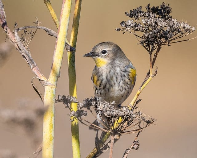 Yellow-rumped Warbler - Spring and summer are a birdwatchers heaven in Bayfield, Wisconsin. New to birding? Get a list of twenty common species you might see (or hear!) right outside your cottage window here in Brickyard Creek. Check out our favorite Birds of Wisconsin!
